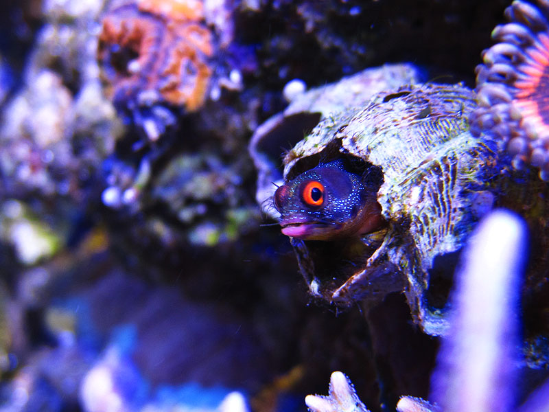 BarnacleBlenny - Barnacle Blenny in Red People Eaters