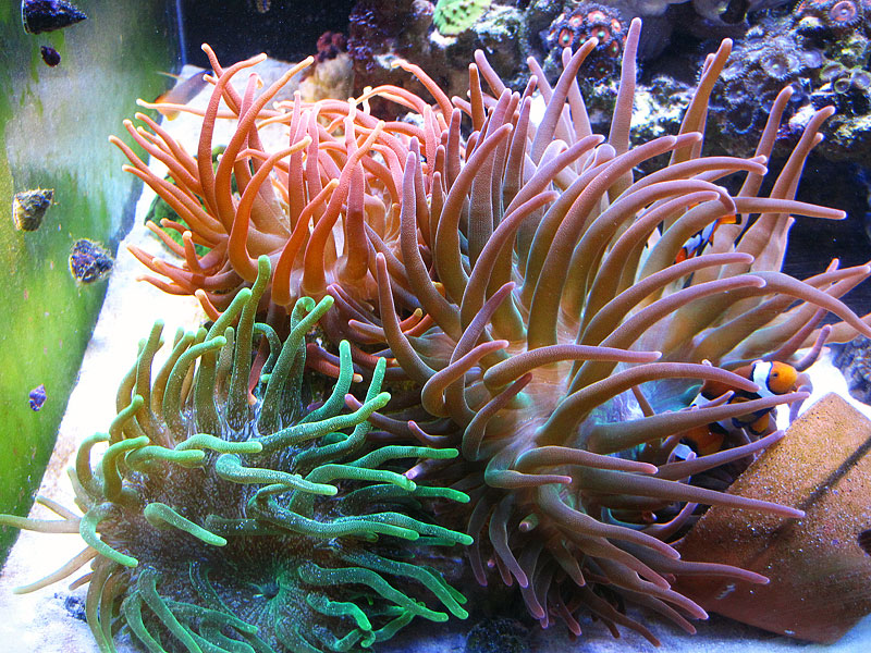 BTA Trio1 - Bubble Tip Anemone Trio