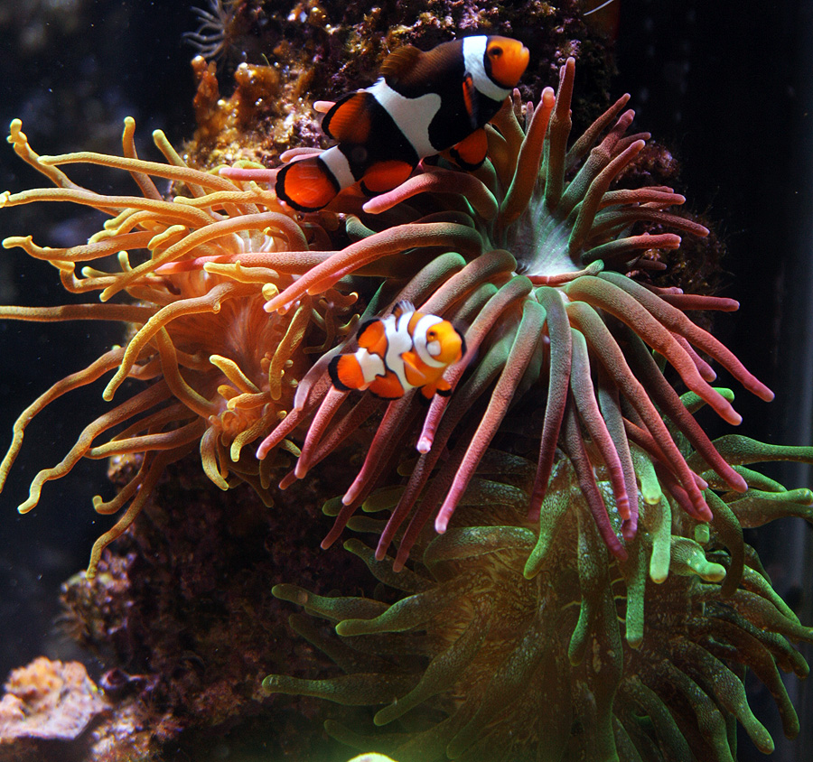 Anemones - Breeding Journal: Amphiprion Percula